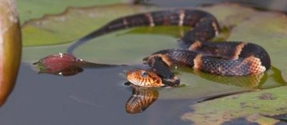 broad-banded-water-snake_3